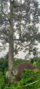 Pohon Durian Rajo Watukuro