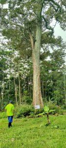 Pohon Durian Ratu Puspo